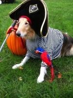 Collie,Rough pirate