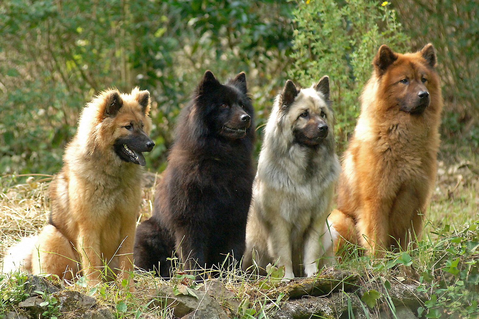 Сolorful Eurasier dogs wallpaper