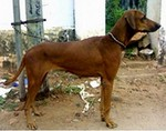 Combai dog side view