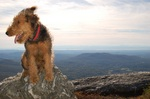 Cool Airedale Terrier on the mountain