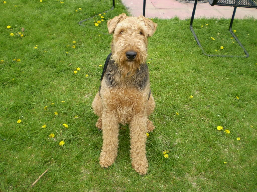 Add photos Cool Airedale Terrier in your blog:
