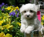 Coton de Tulear dog in the flowers