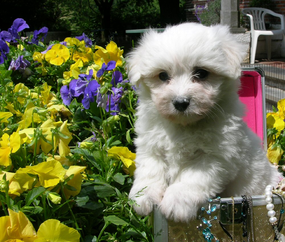 Coton de Tulear dog in the flowers wallpaper