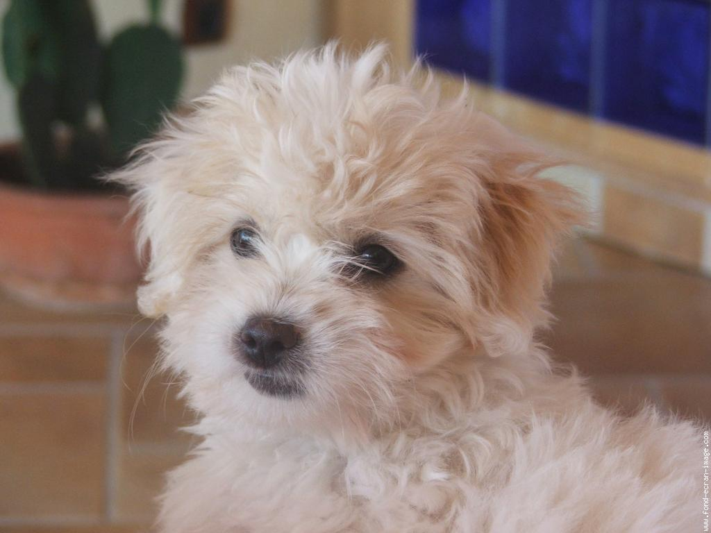Coton de Tulear wallpaper