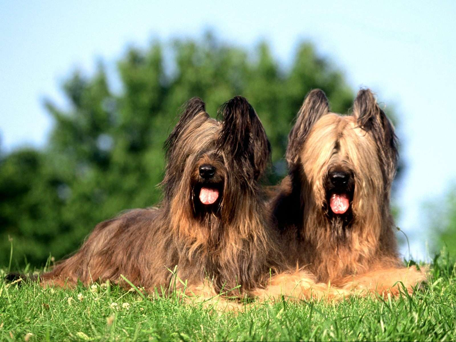 Couple of Briard dogs wallpaper