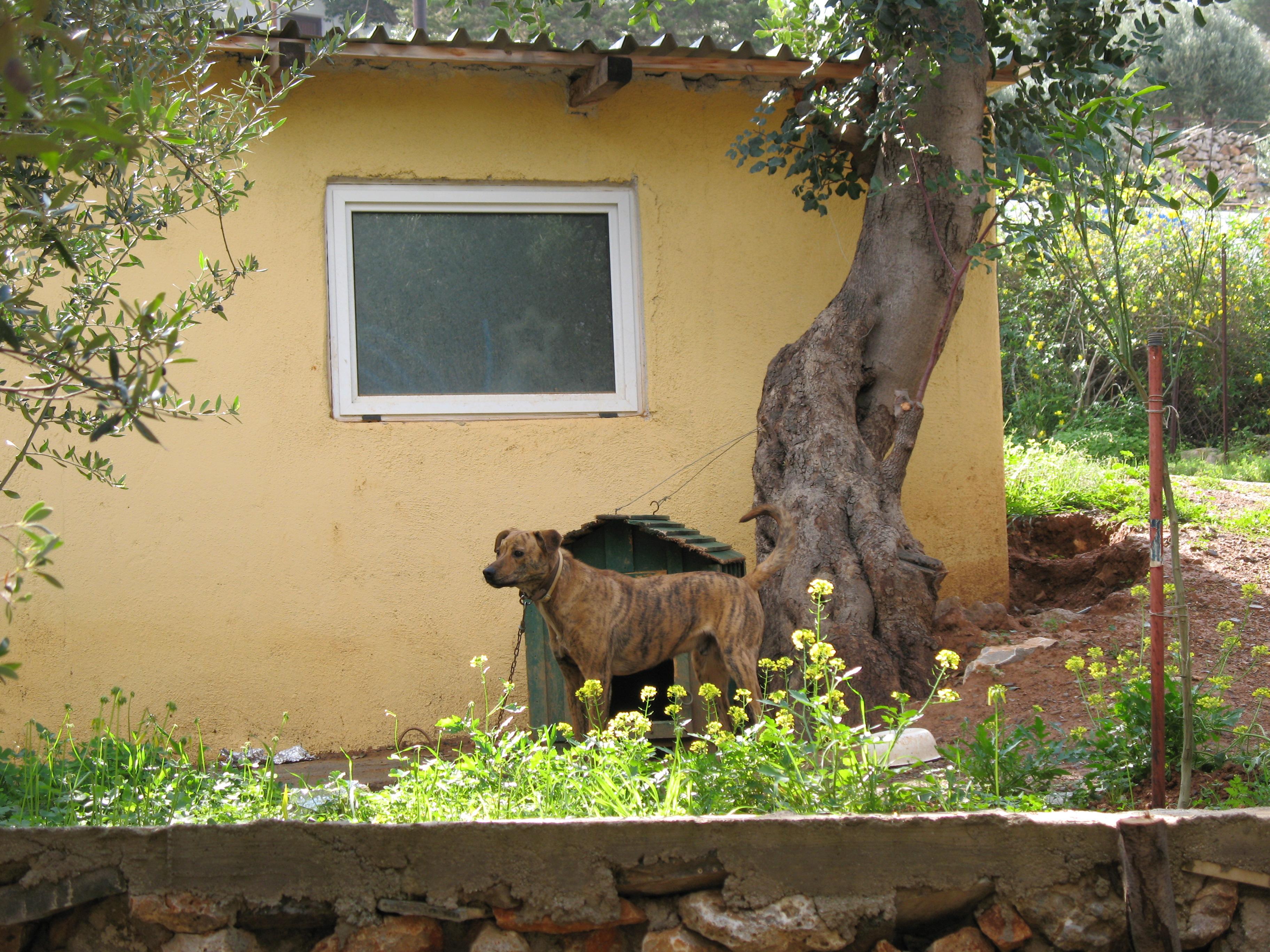 Критская гончая во дворе фото