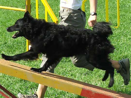 Croatian Sheepdog in competition wallpaper