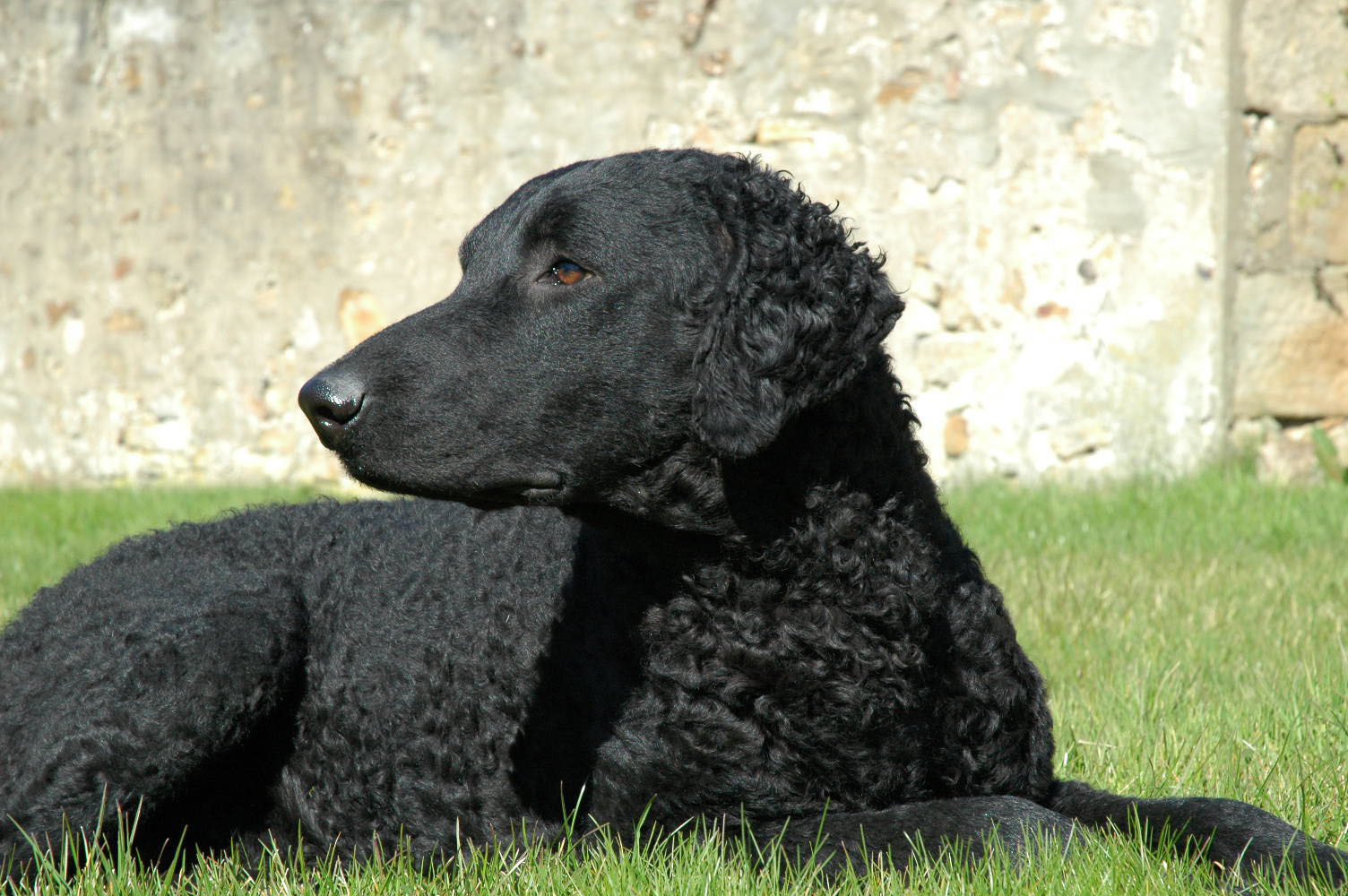Curly Coated Retriever dog wallpaper
