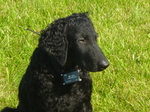 Curly Coated Retriever face