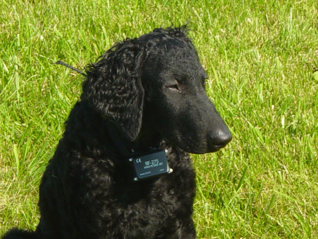 Curly Coated Retriever face wallpaper