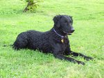 Curly Coated Retriever on the grass