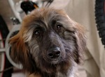 Cute Afghan Hound is looking at you