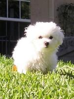 Cute Aidi puppy