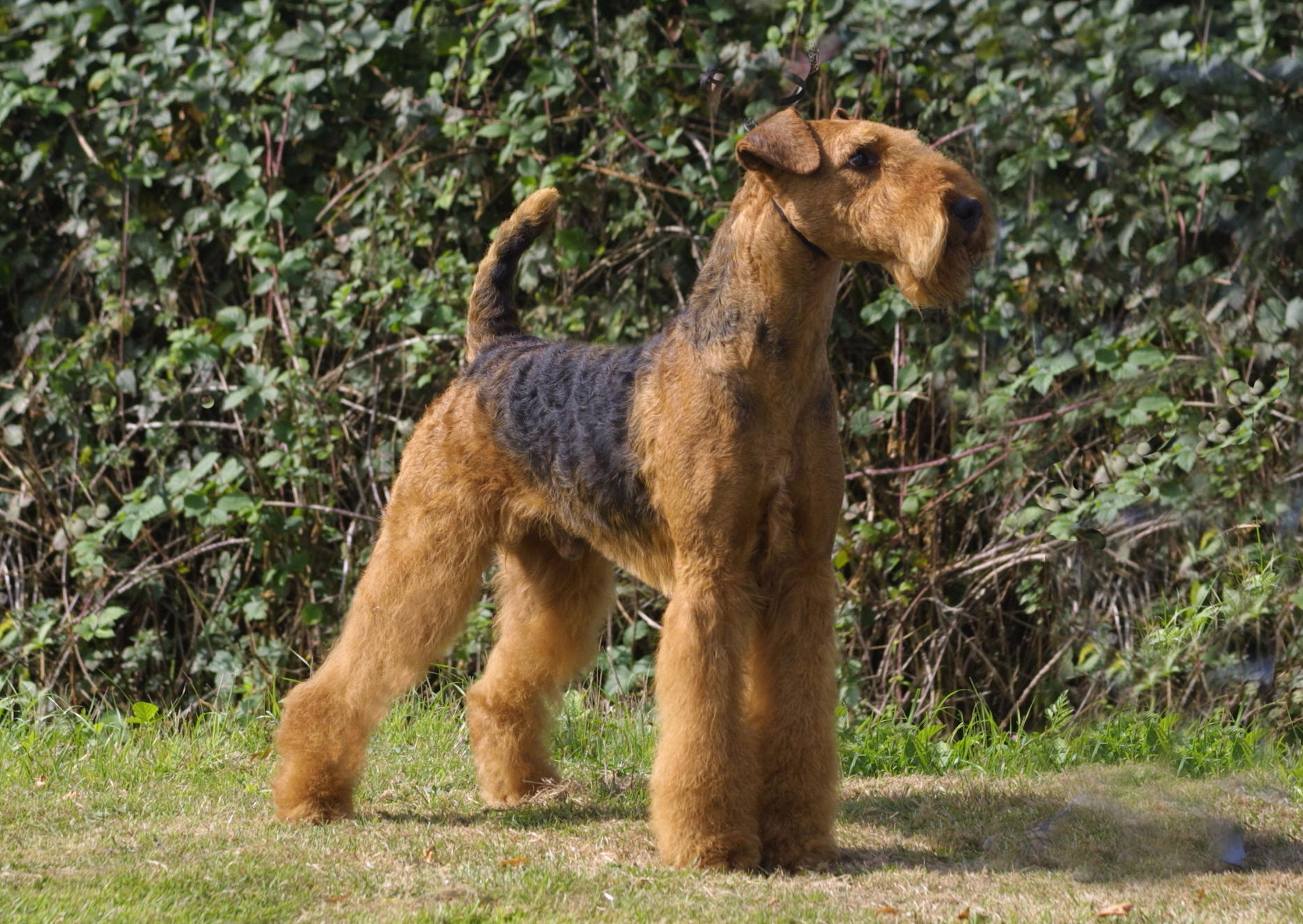 Cute Airedale in the rack wallpaper