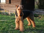 Cute Airedale Terrier looking at you