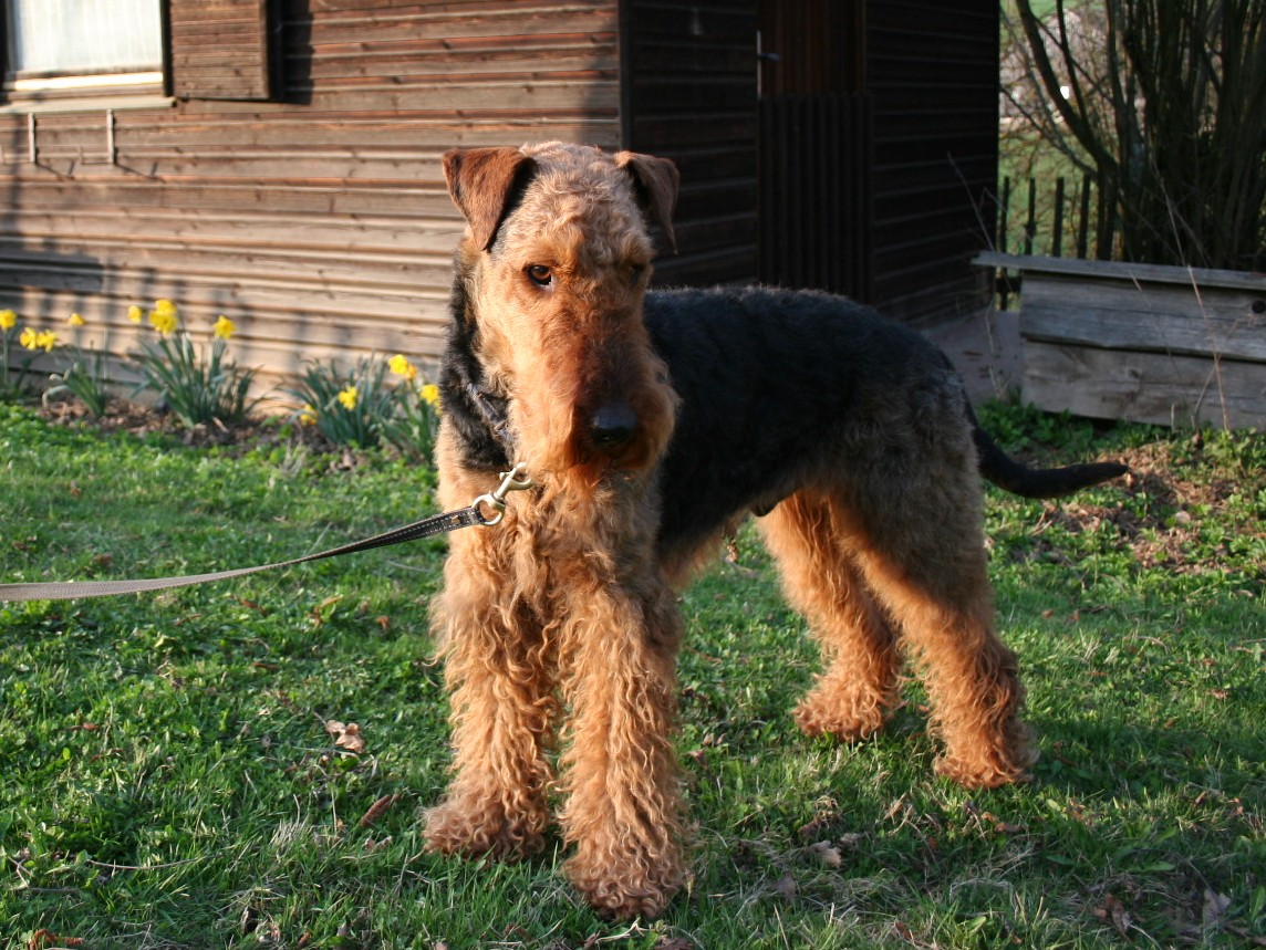 Cute Airedale Terrier looking at you wallpaper