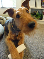 Cute Airedale Terrier puppy