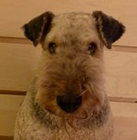 Cute Airedale Terrier Rocky