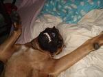 Cute Alano Español Zorro dog
