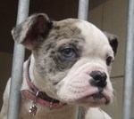Cute Alapaha Blue Blood Bulldog jail