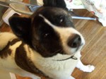 Cute American Akita dog