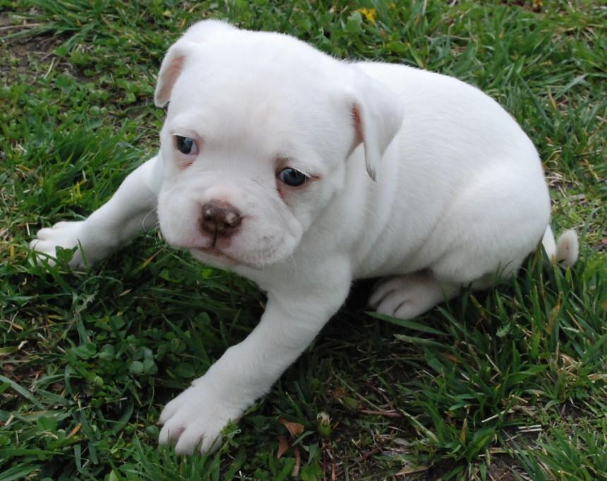 Cute American Bulldog white puppy wallpaper
