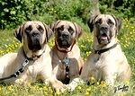 Cute American Mastiff dogs
