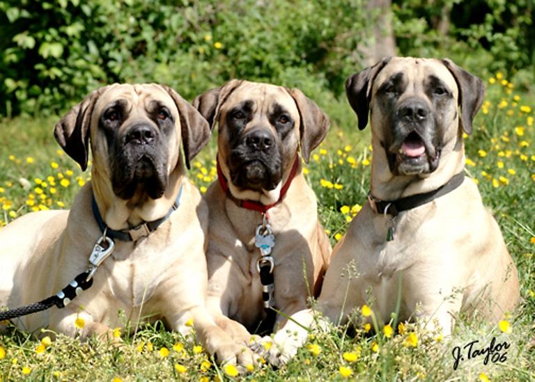 Cute American Mastiff dogs wallpaper