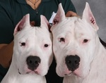 Cute Argentine Dogo dogs