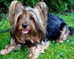 Cute Australian Silky Terrier