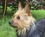 Cute Australian Terrier Max