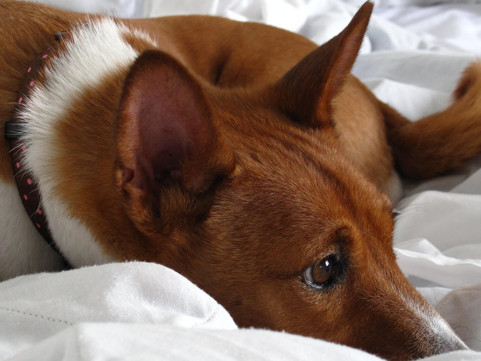 Cute Basenji dog wallpaper