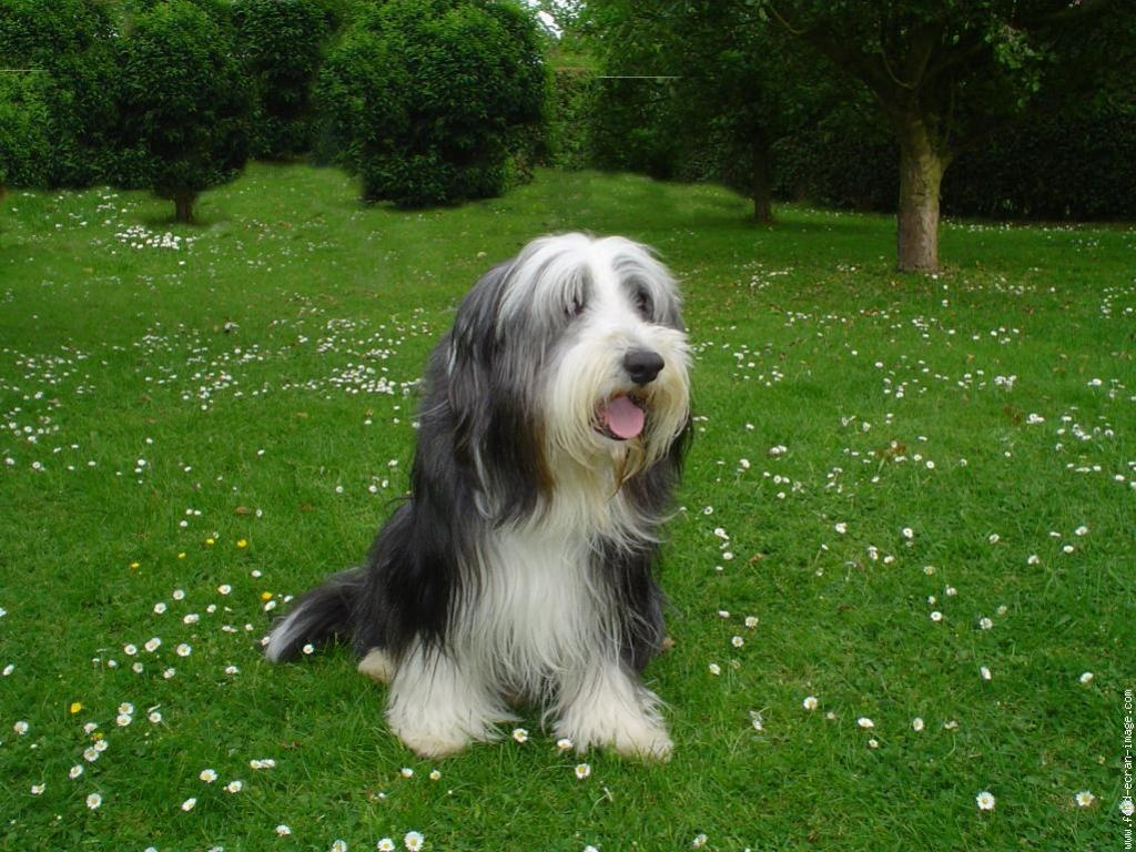 Cute Bearded Collie dog wallpaper