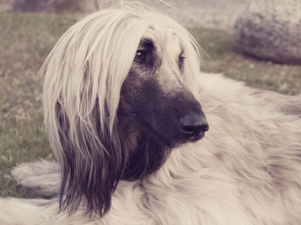 Cute black and white Afghan Hound wallpaper