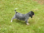 Cute Bleu de Gascogne Grand puppy
