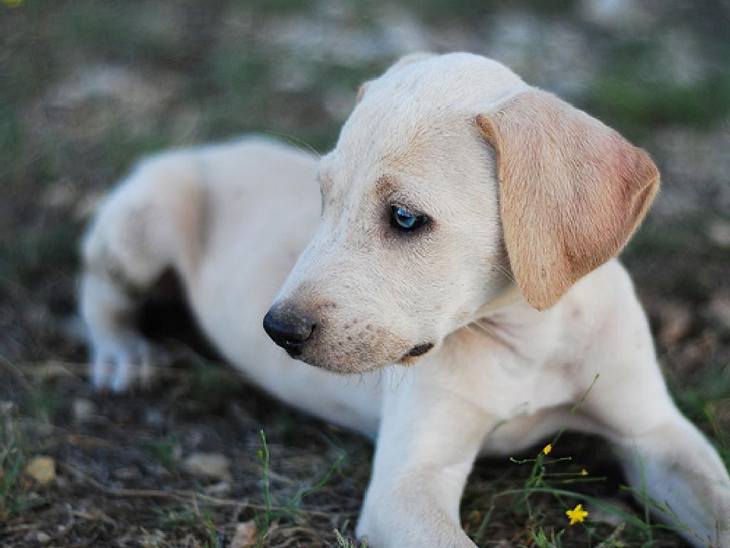 Очаровательная собака блю-лейси фото