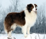 Cute Border Collie winter