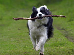 Cute Border Collie with a stick
