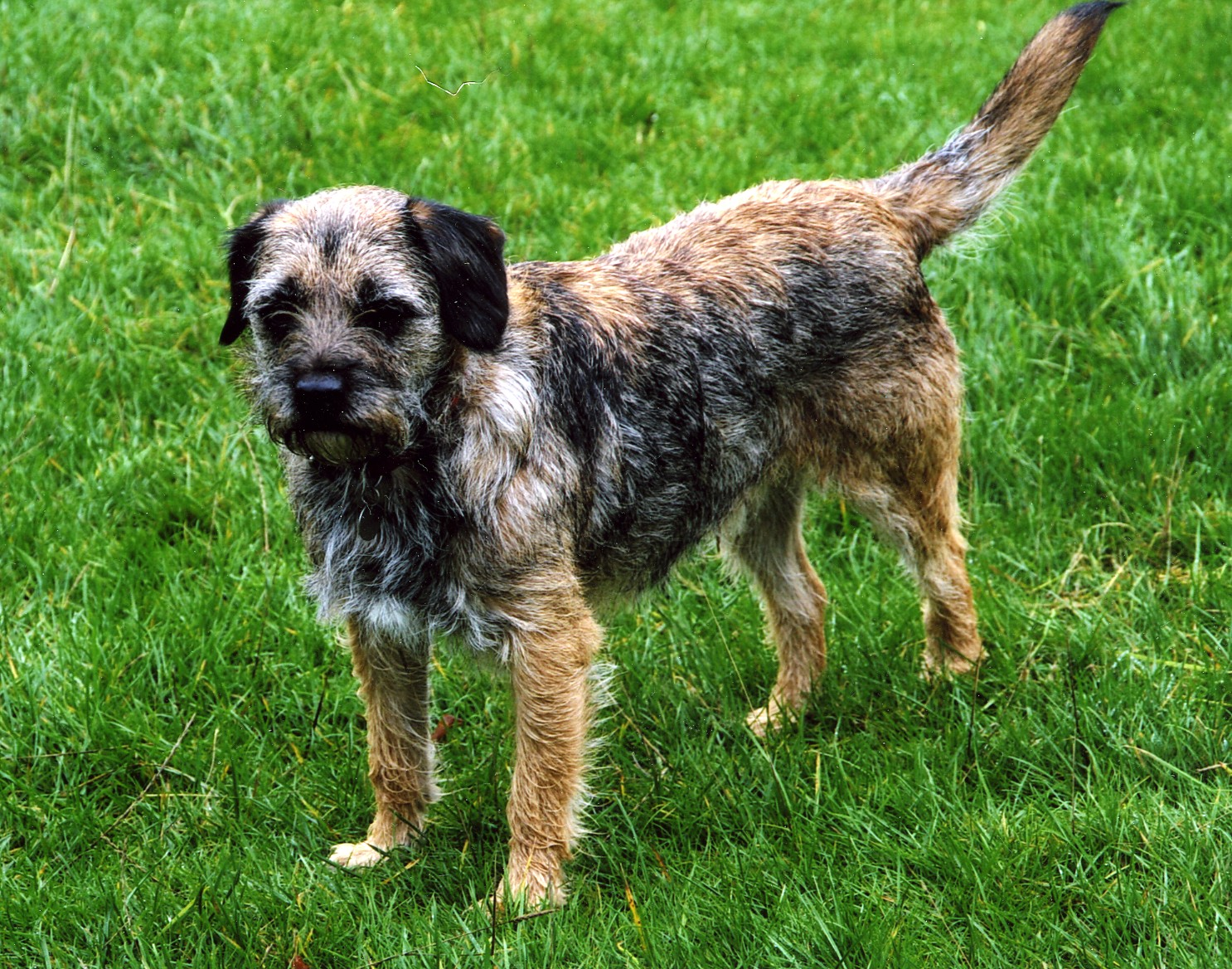 Cute Border Terrier dog wallpaper