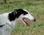 Cute Borzoi dog