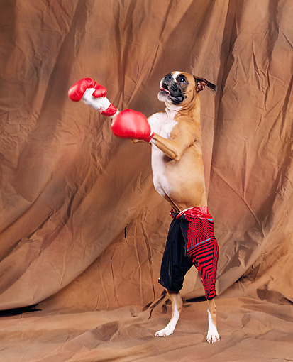 Cute Boxer Photo And Wallpaper. Beautiful Cute Boxer Pictures