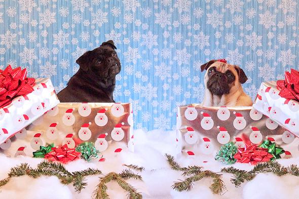 Симпатичные мопсы на День подарков фото