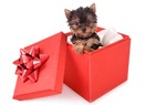 Cute Boxing Day Yorkshire Terrier