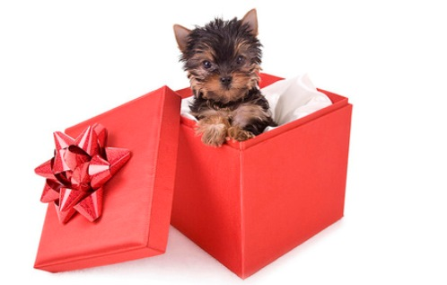Cute Boxing Day Yorkshire Terrier wallpaper