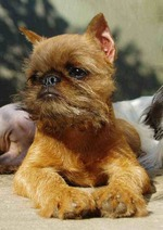 Cute brown Affenpinscher