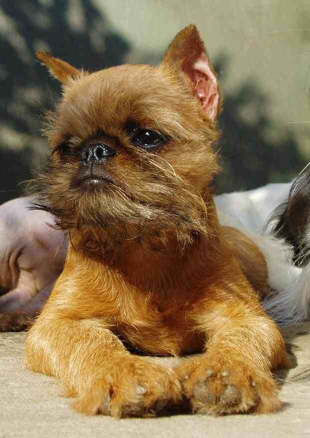 Cute brown Affenpinscher wallpaper