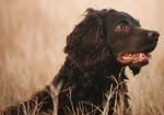 Cute Boykin Spaniel dog