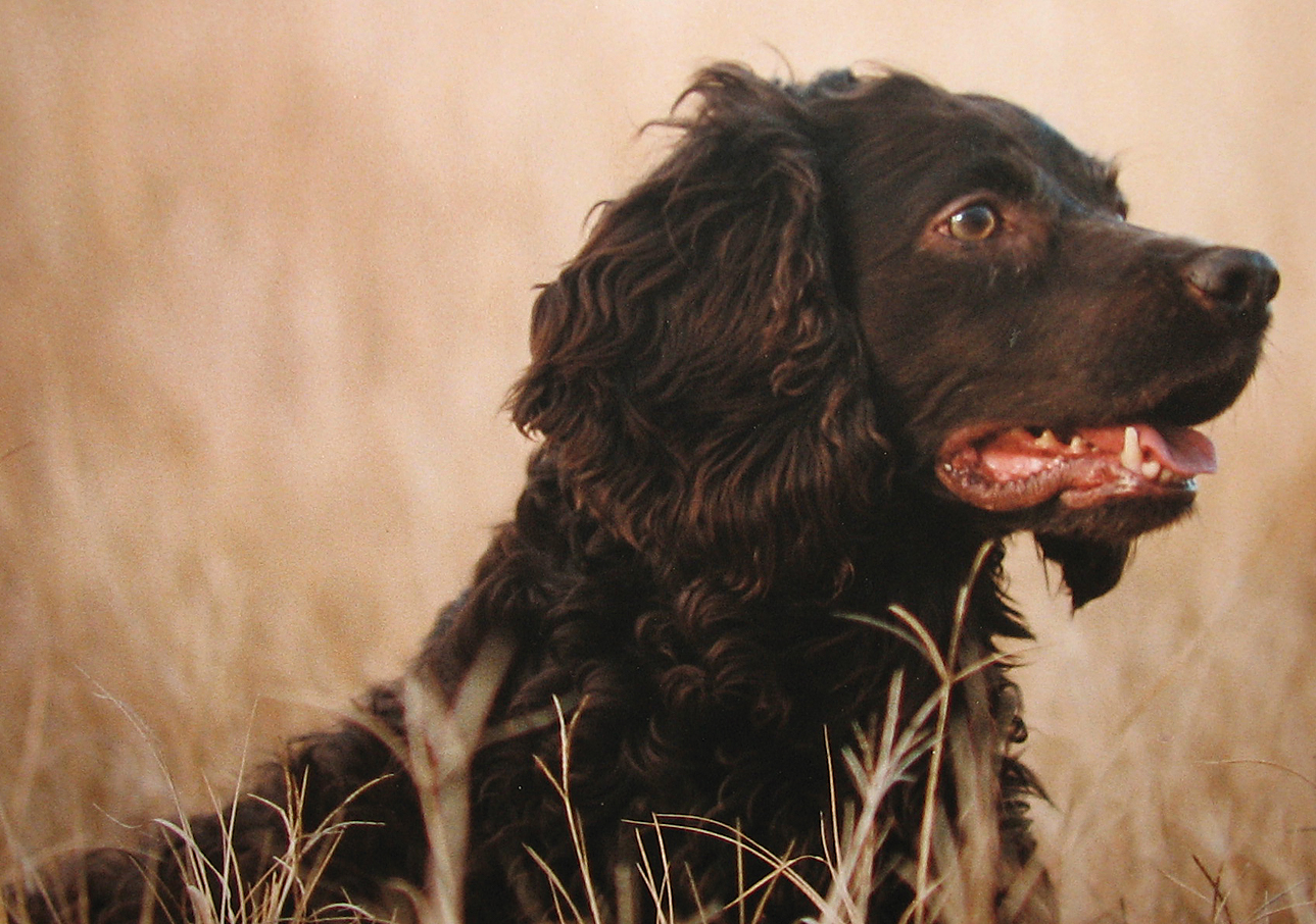 Cute Boykin Spaniel dog wallpaper