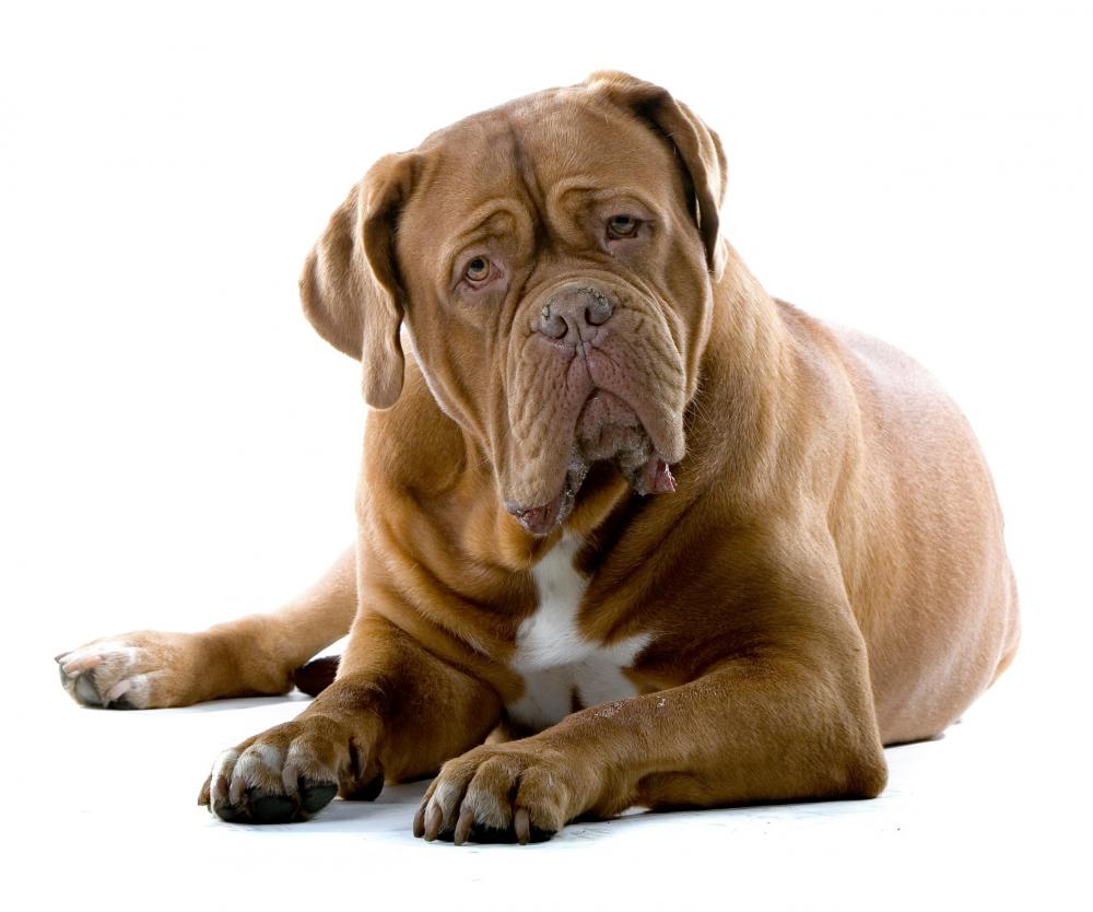 Cute Bullmastiff dog wallpaper