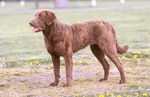 Cute Chesapeake Bay Retriever dog
